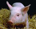 Swine -Pig- Host