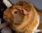 Guinea Pig Host