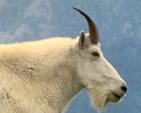 Goat Host